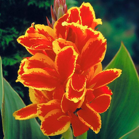 Canna Lucifer (Indisches Blumenrohr) | #2