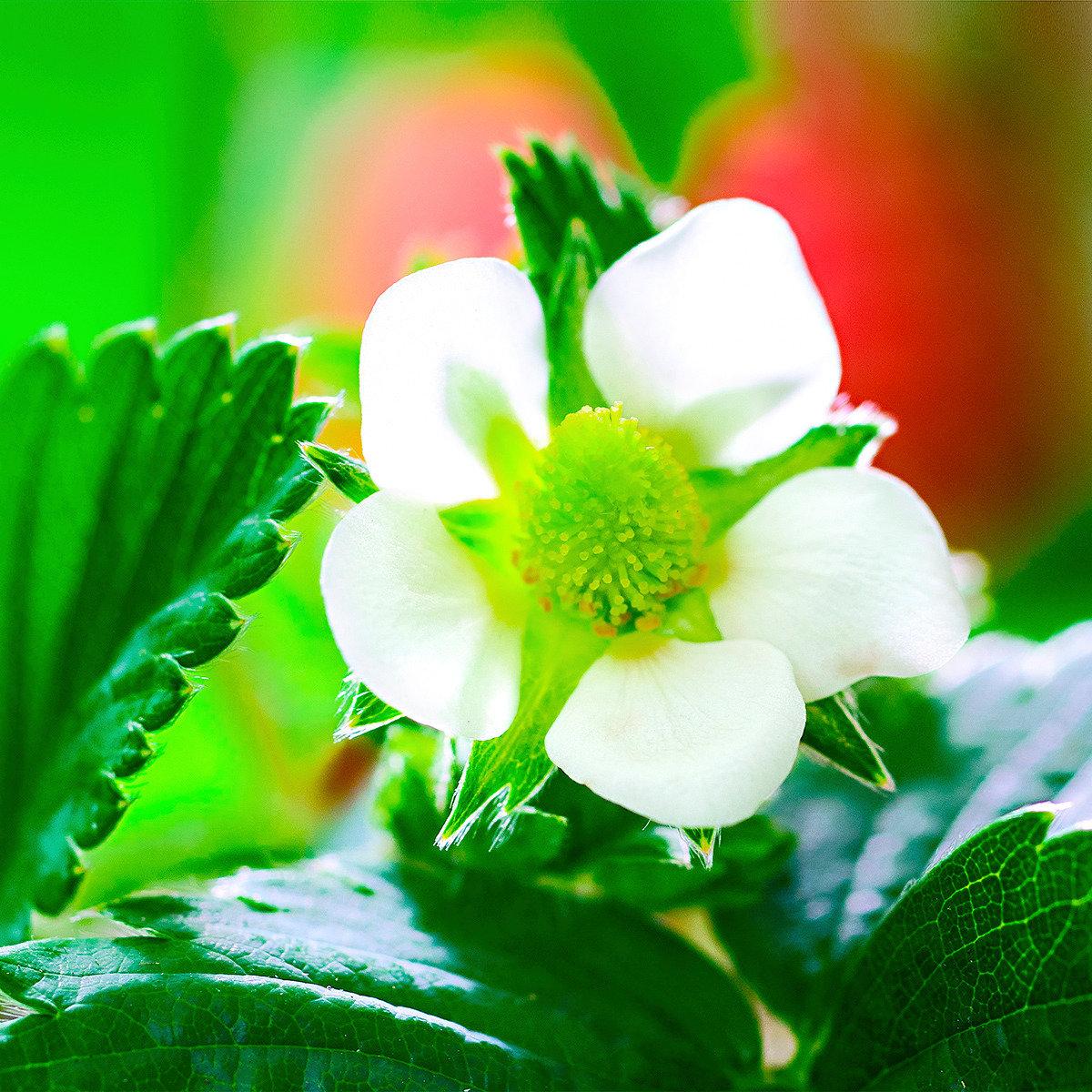 Erdbeerpflanze Fridulin Terralin, getopft | #2