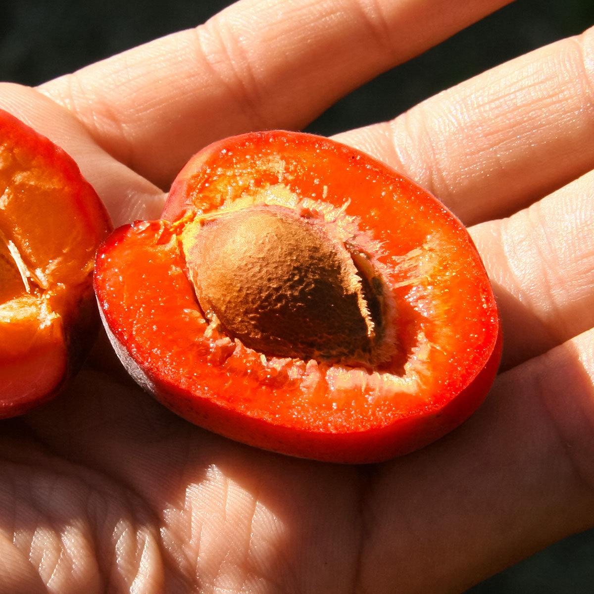 Blutaprikose Evisso | #2