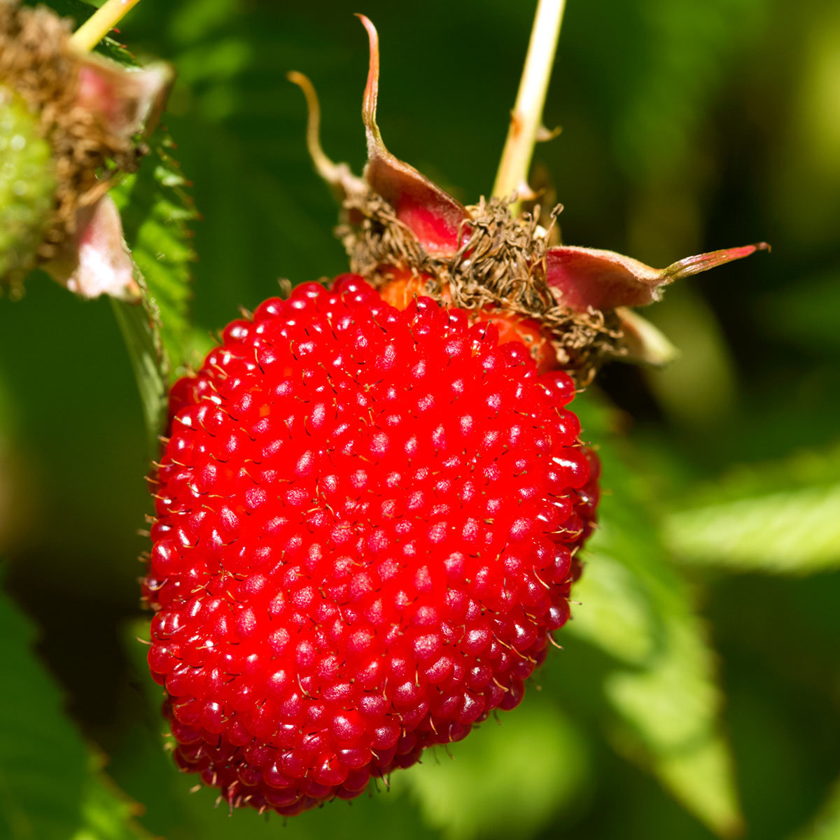 Erdbeerhimbeere | #2