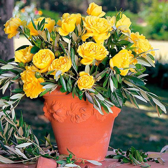 Edelrose Michelangelo ®, im 4-Liter-Topf | #2
