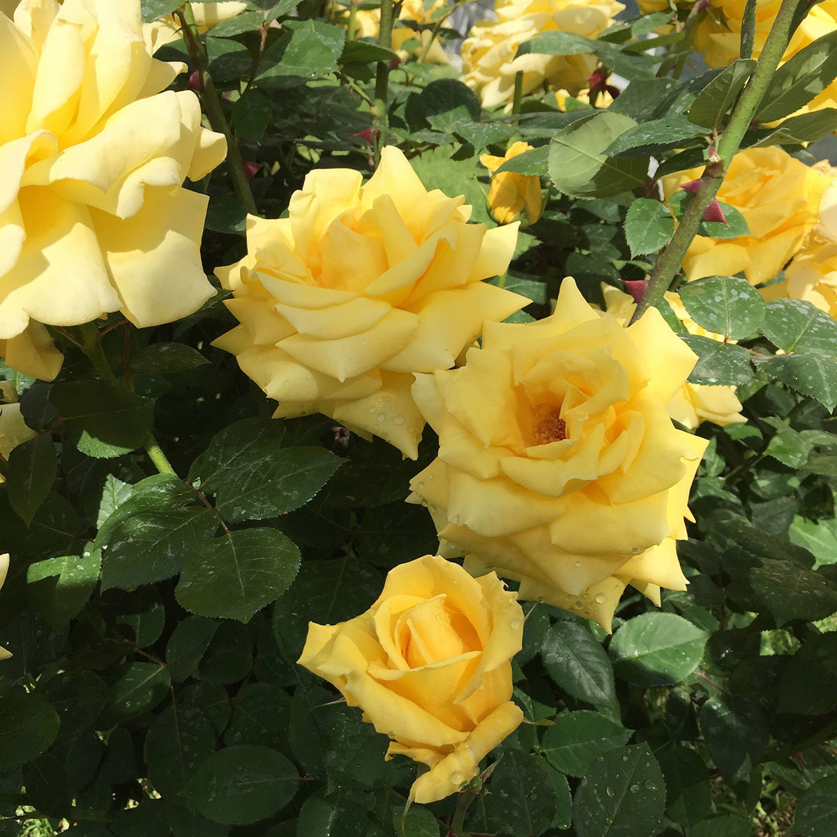 Edelrose Golden Fashion®, im 5,5-Liter-Topf | #2