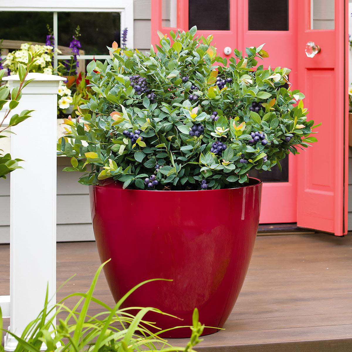 Heidelbeere Brazel Berry® Pink Breeze®   #2