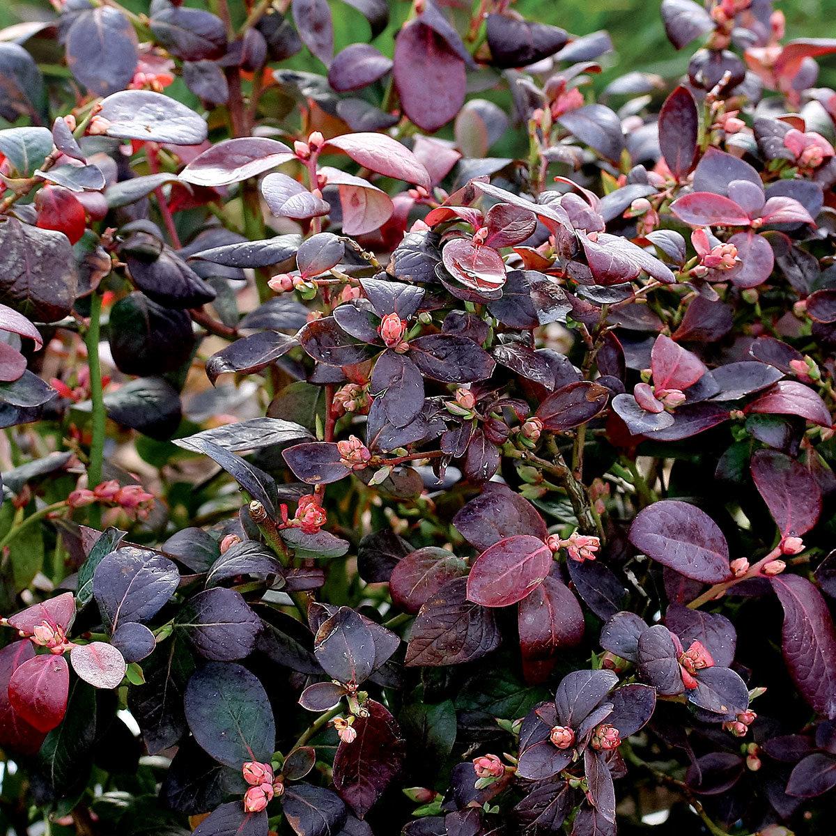 Heidelbeere Brazel Berry® Peach Sorbet® | #2