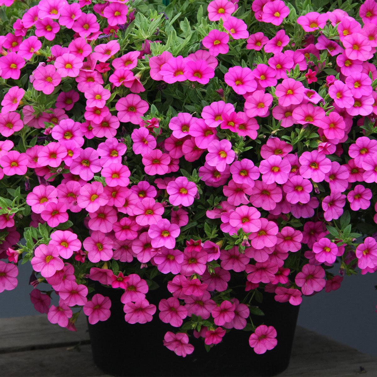 Calibrachoa-Petuniensamen Kabloom Deep Pink F1, Pillensaat | #2