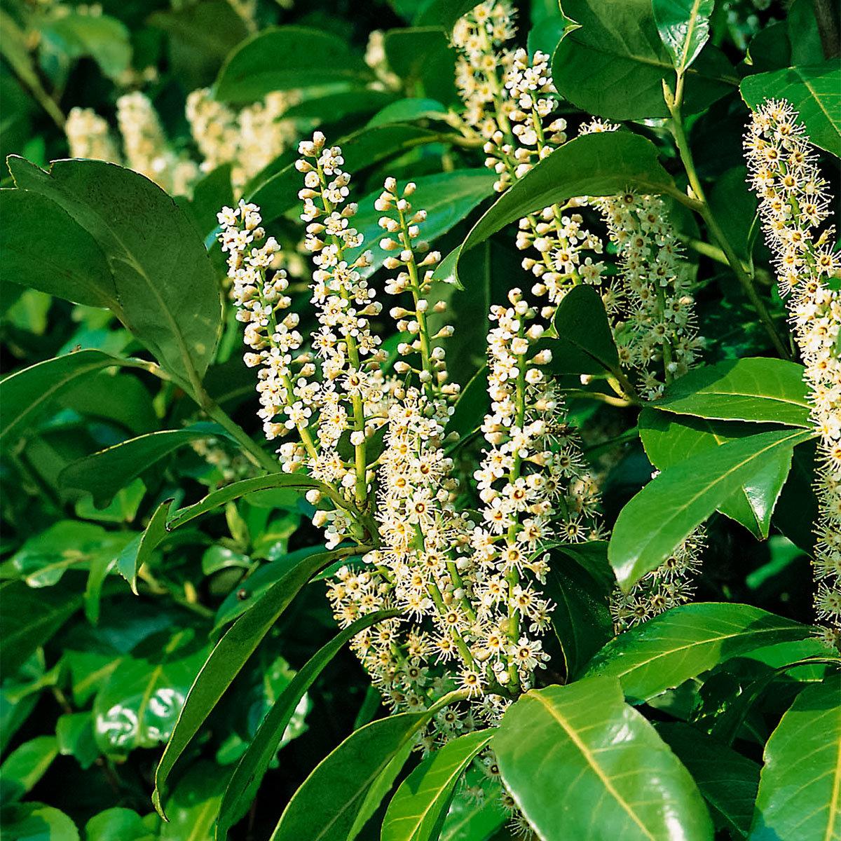 Kirschlorbeer Rotundifolia, im ca. 9 cm-Topf, Höhe ca. 25-30 cm | #2