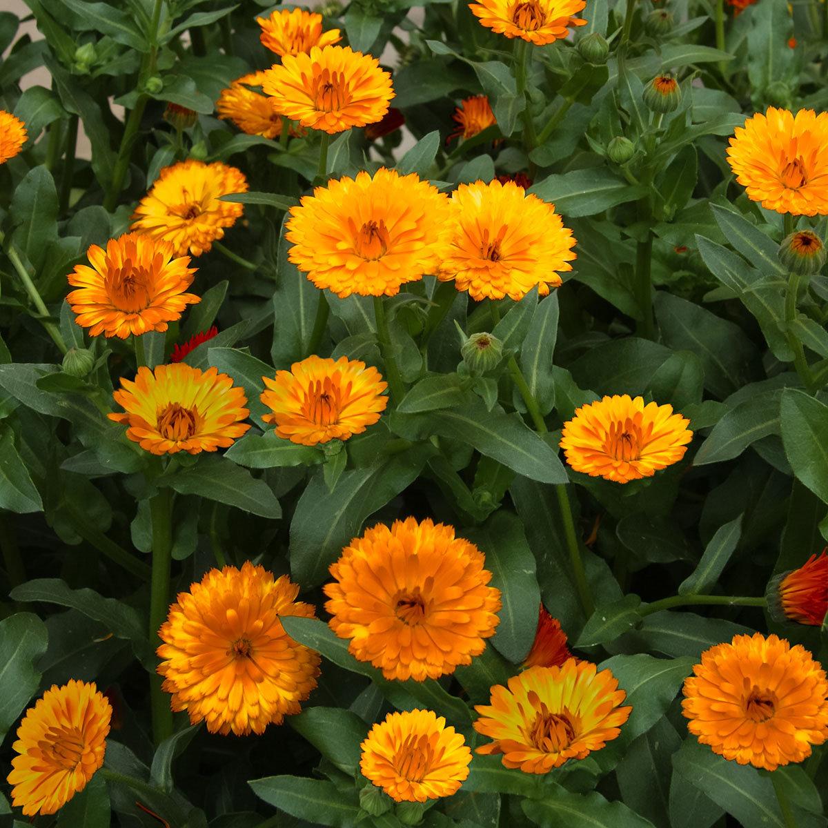 winterharte calendula winter wonders amber arctic von