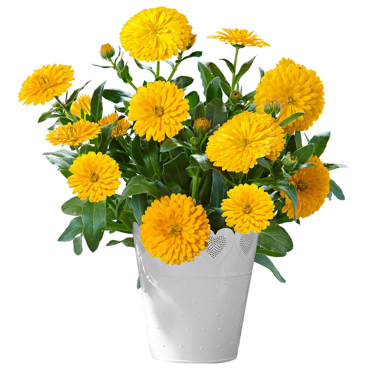 Calendula Winter Wonders® Golden Glaze | #2