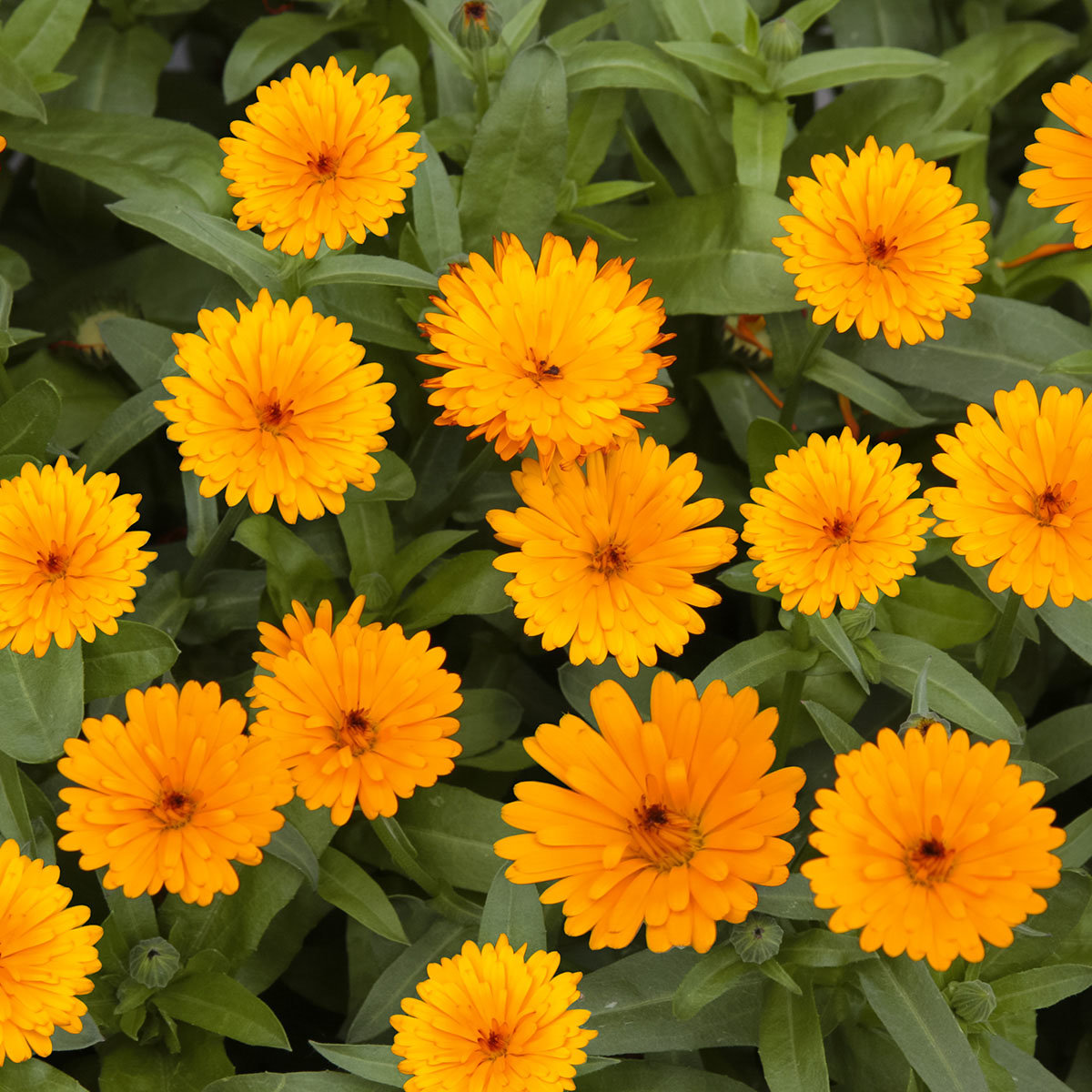 winterharte calendula winter wonders peach polar von