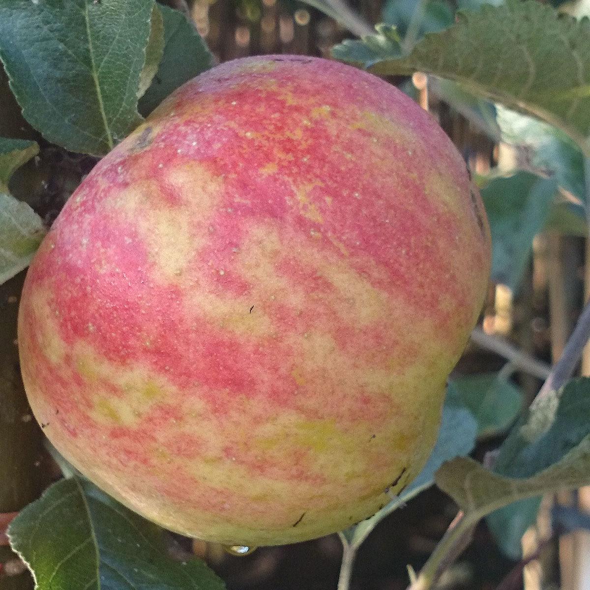 Apfel Karneval(S), im ca. 24 cm-Topf   #2