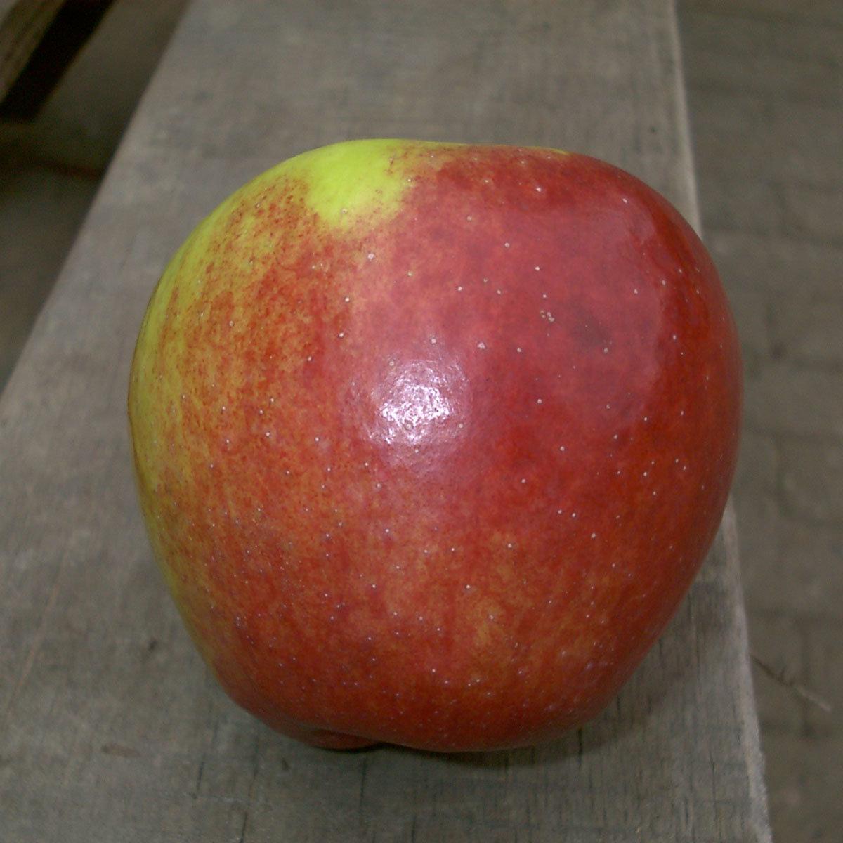 Duo-Apfel Retina - Cox Orange, 2-jährig | #2