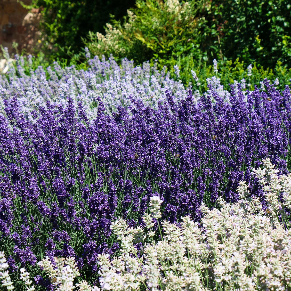 Englischer Lavendel Elizabeth, im ca. 13 cm-Topf | #2