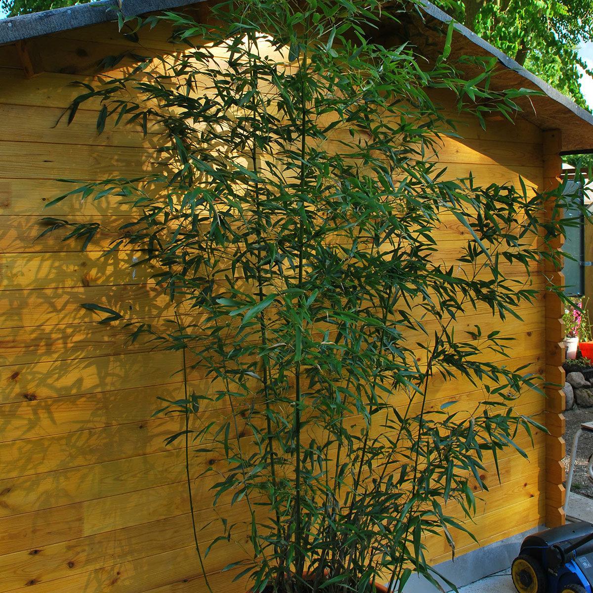 gr ner bambus bissetii im 7 5 liter topf von g rtner. Black Bedroom Furniture Sets. Home Design Ideas