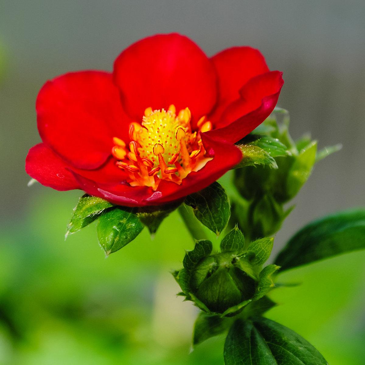 Erdbeere Ruby Ann | #2