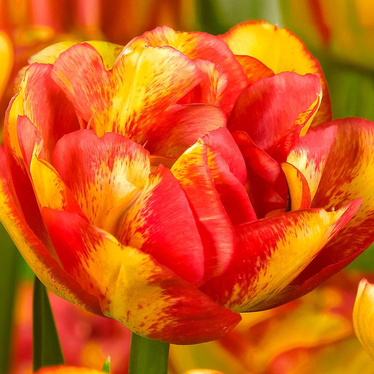 Tulpe Sundowner | #2