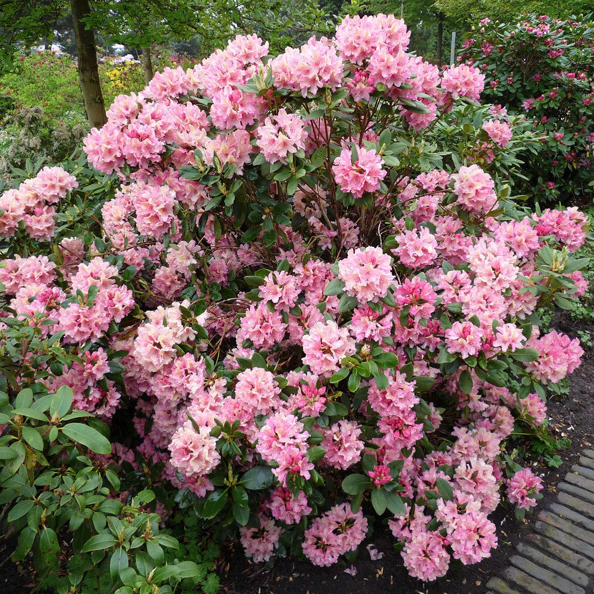 Rhododendron Brasilia, im 2-Liter-Container | #2