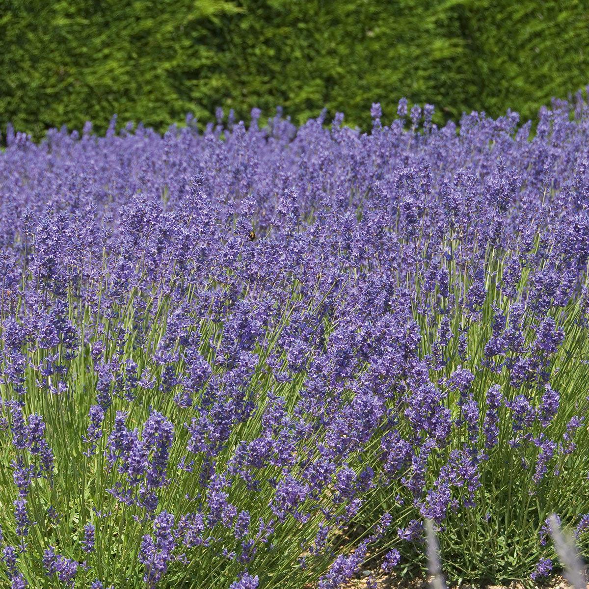 Englischer Lavendel Folgate | #2
