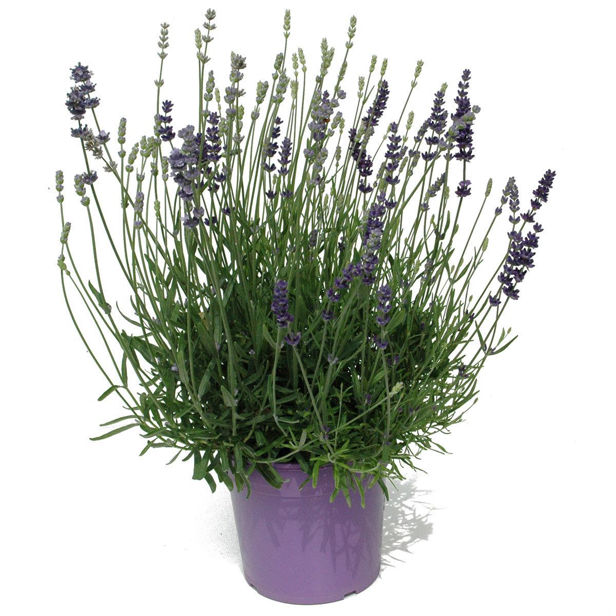 Lavendel Trio XXL | #2