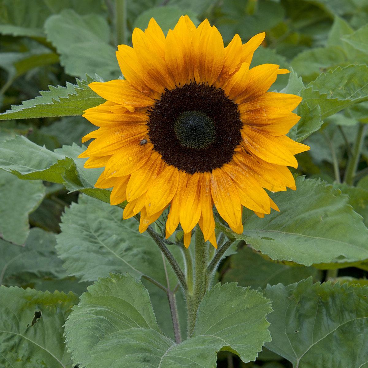 Sonnenblume Copper Queen F1 | #2