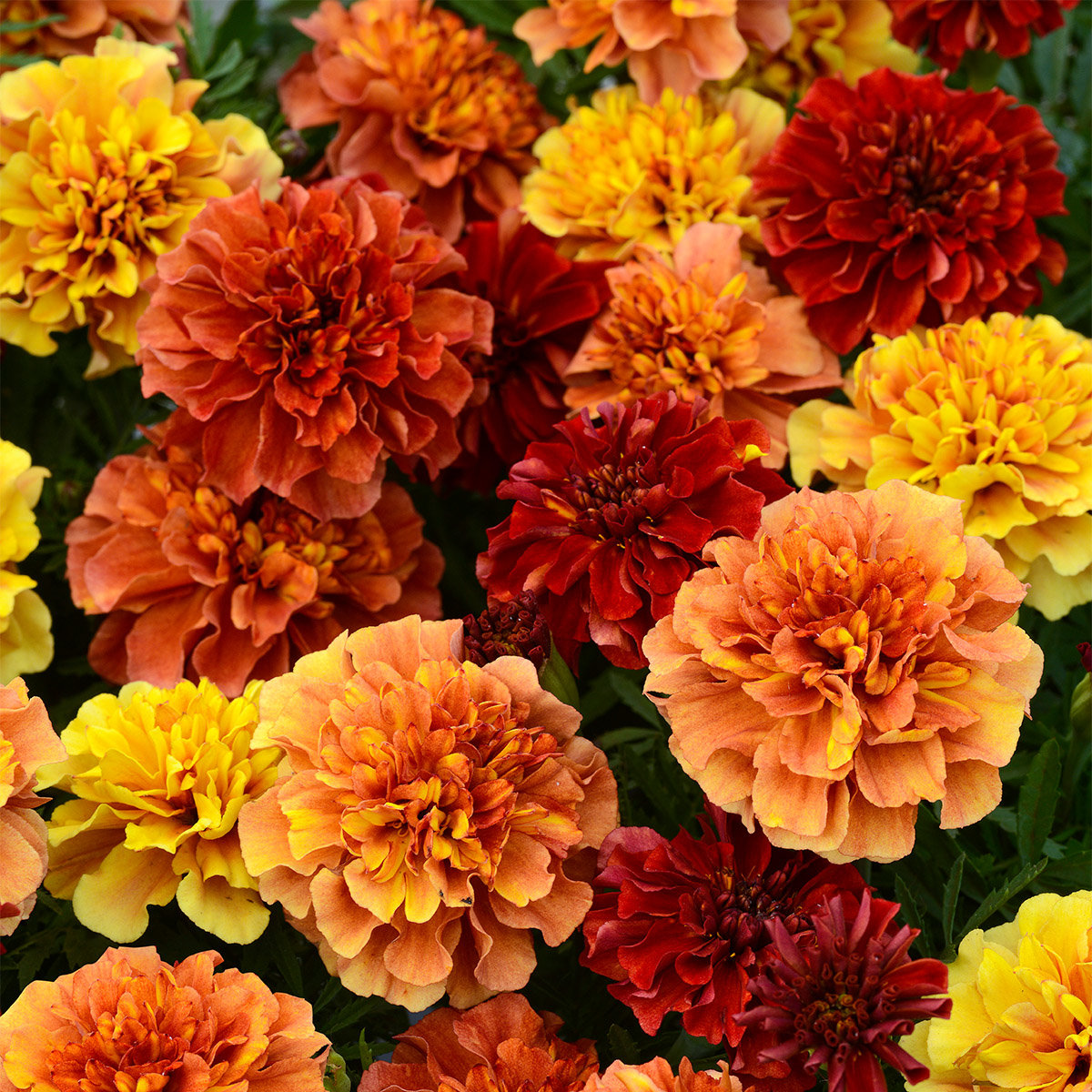 Tagetes Strawberry Blonde | #2