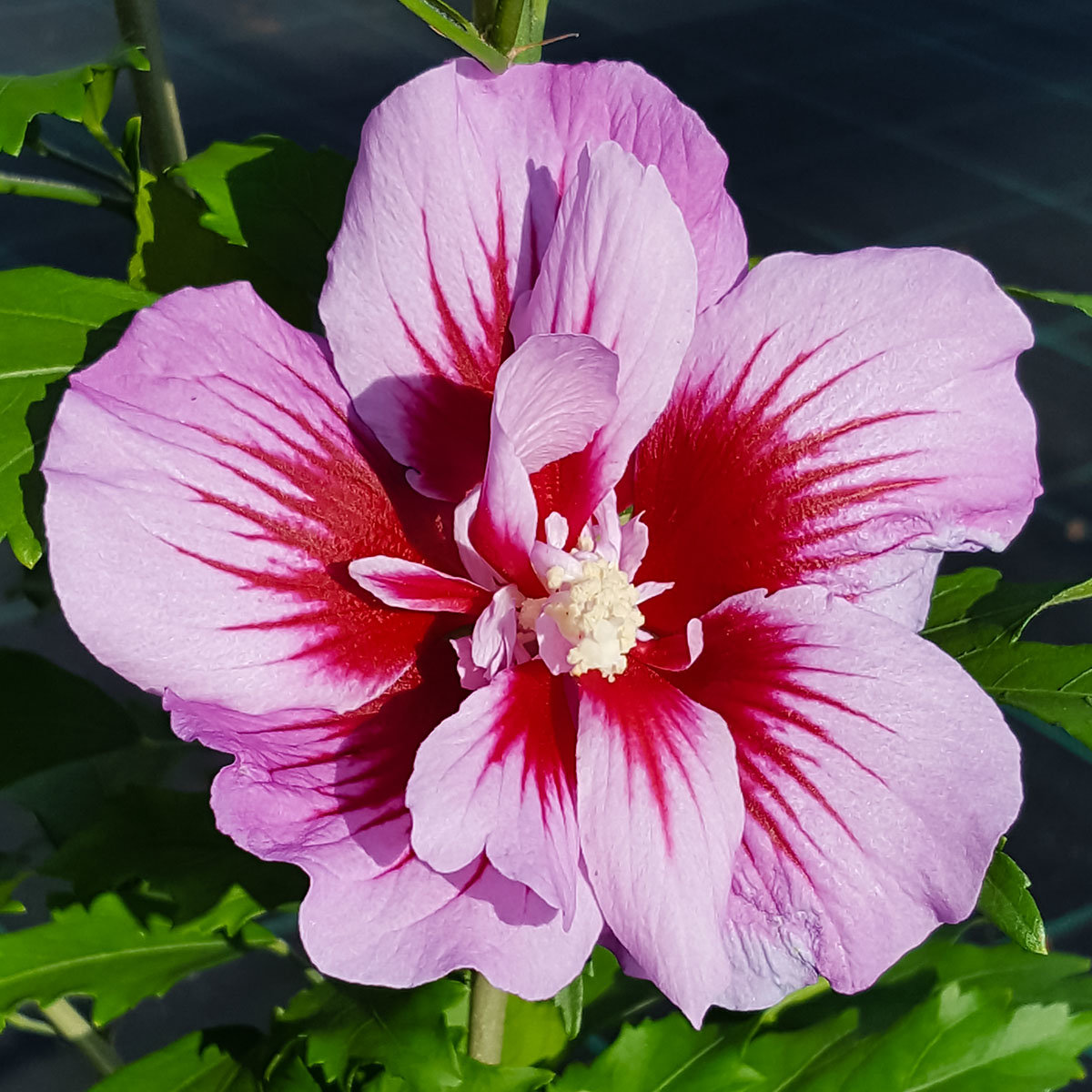 Säulen-Hibiskus Purple Pillar | #2