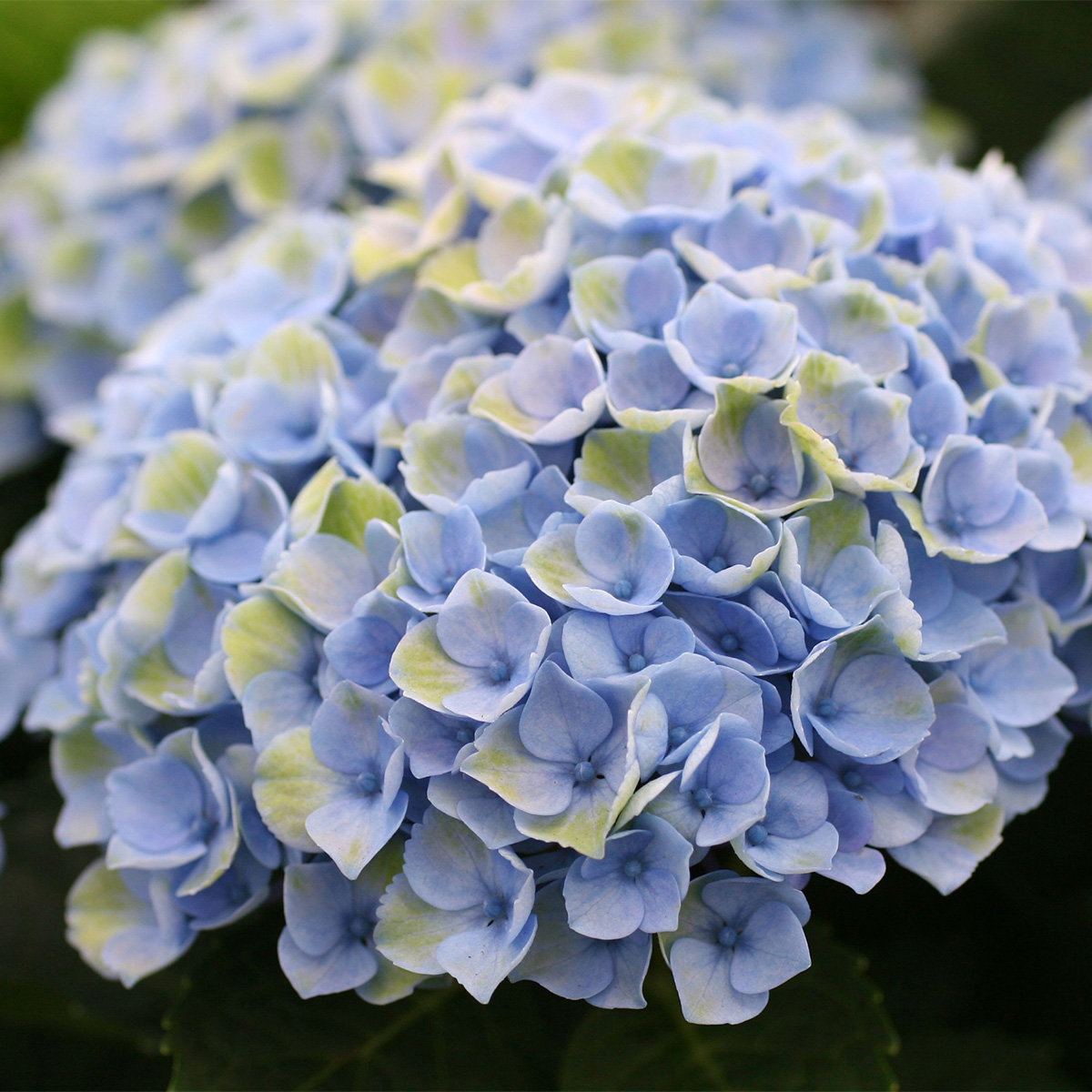 Garten-Hortensie Magical® Revolution Blue | #2