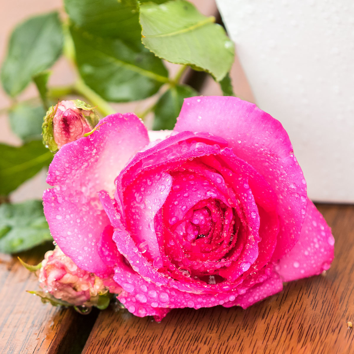 Rose Pink Eden Rose®   #2