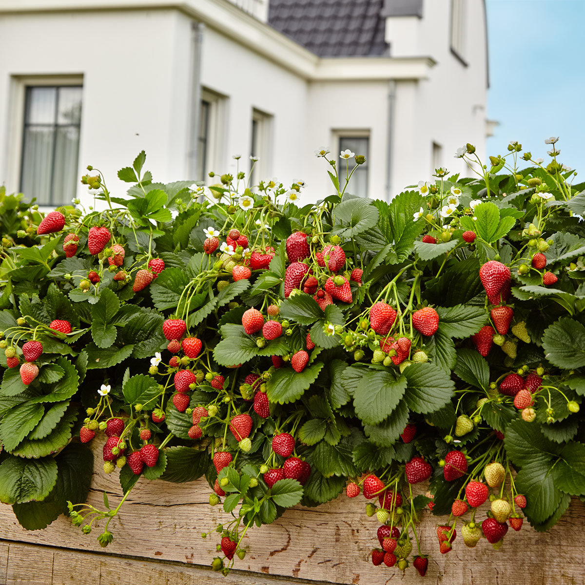 Duft-Erdbeere Delizz® | #2
