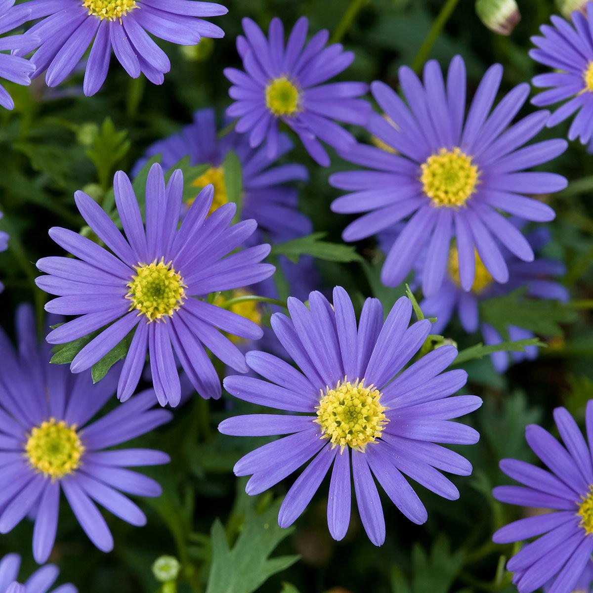 Blaues hängendes Gänseblümchen, im ca. 11 cm-Topf | #2