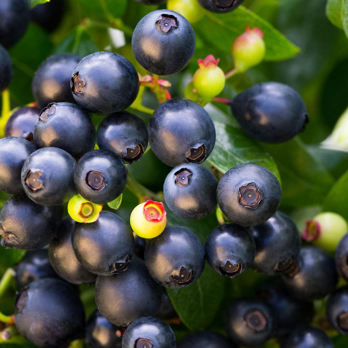 Heidelbeere BrazelBerry® Berry Bux® - Laufender Meter, 6 Pflanzen, im ca. 11 cm-Topf | #2