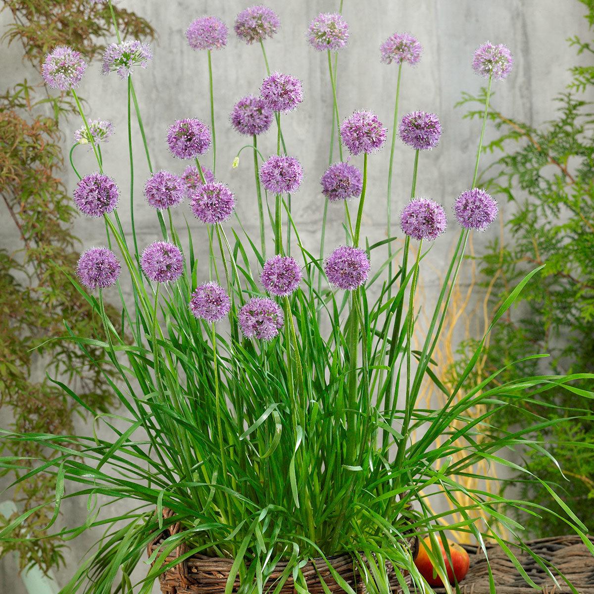Kräuterpflanze Schnitt-Knoblauch, im ca 12 cm-Topf   #2