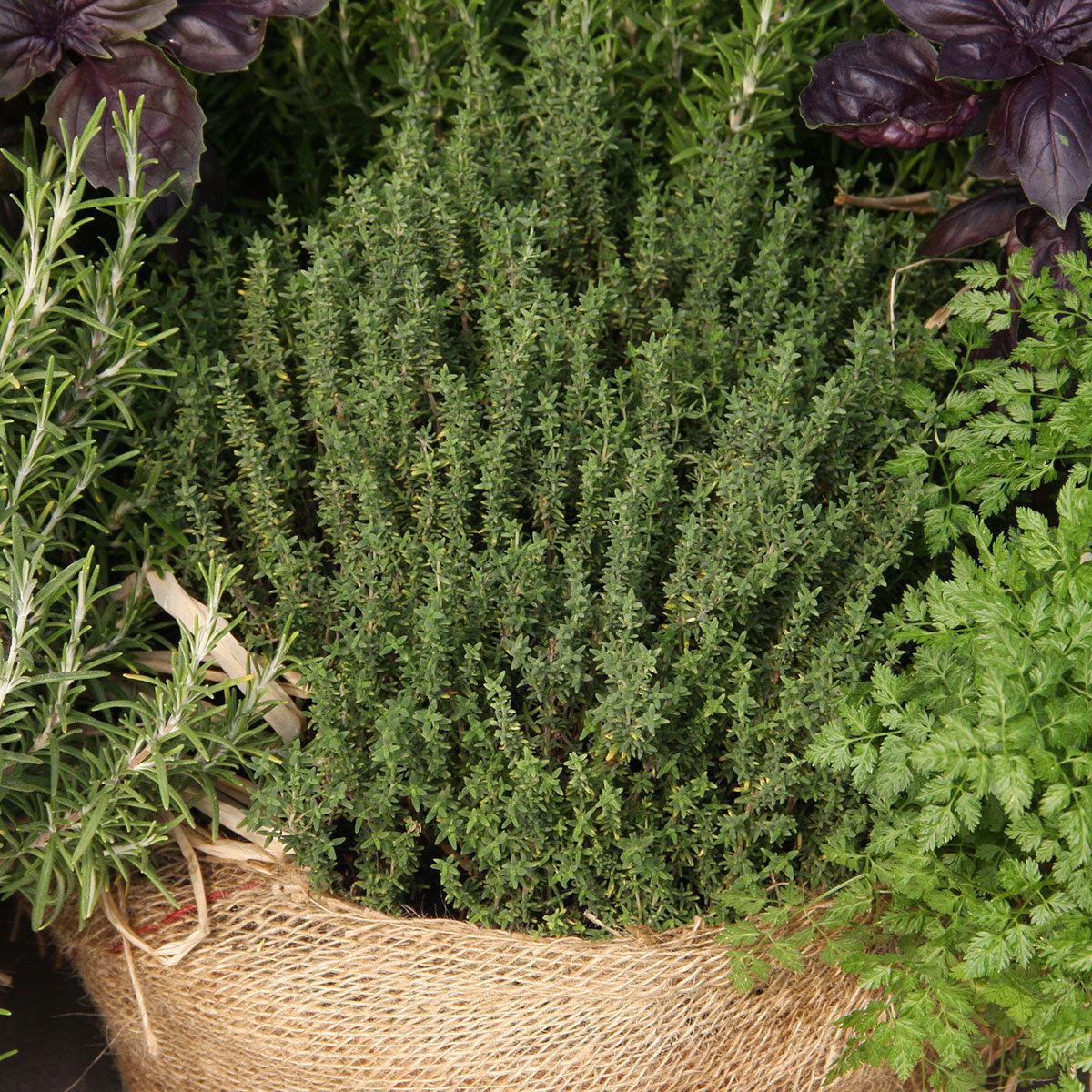 Kräuterpflanze Sonnen-Thymian Goldy, im ca. 12 cm-Topf | #2