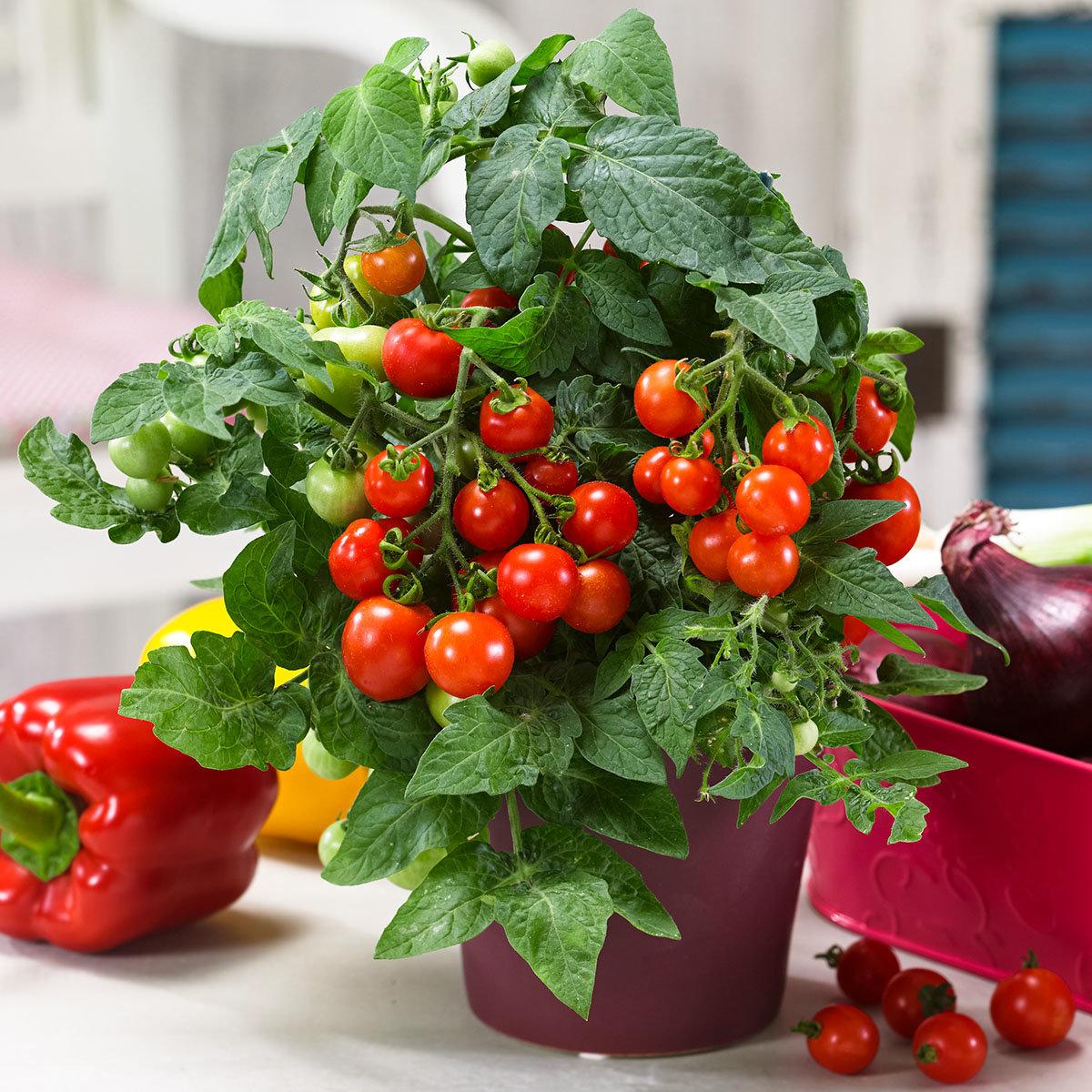 Balkon-Tomatenpflanze Primabell, veredelt, im ca. 12 cm-Topf | #2