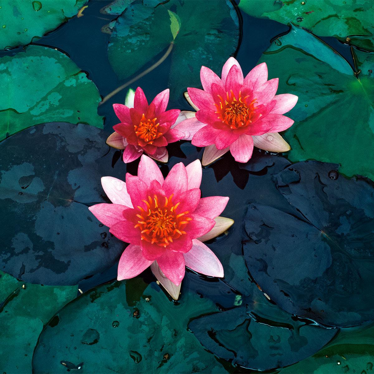 Zwergseerose, pink-rosa, im ca. 11 cm-Topf | #2