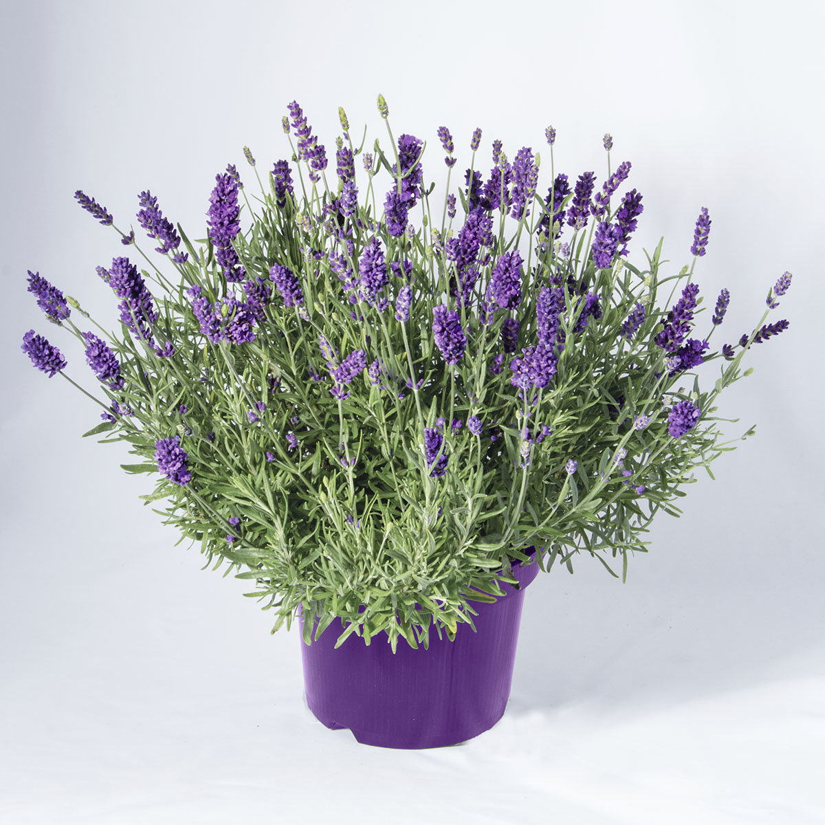 Super XL Lavendel | #2