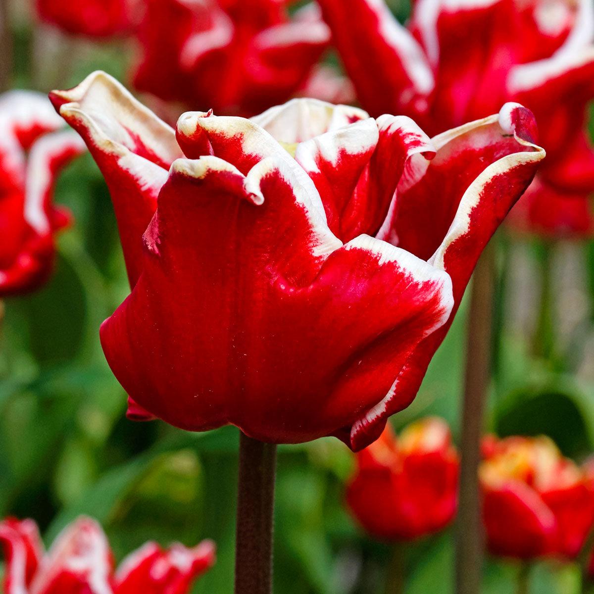 Tulpe Elegant Crown | #2