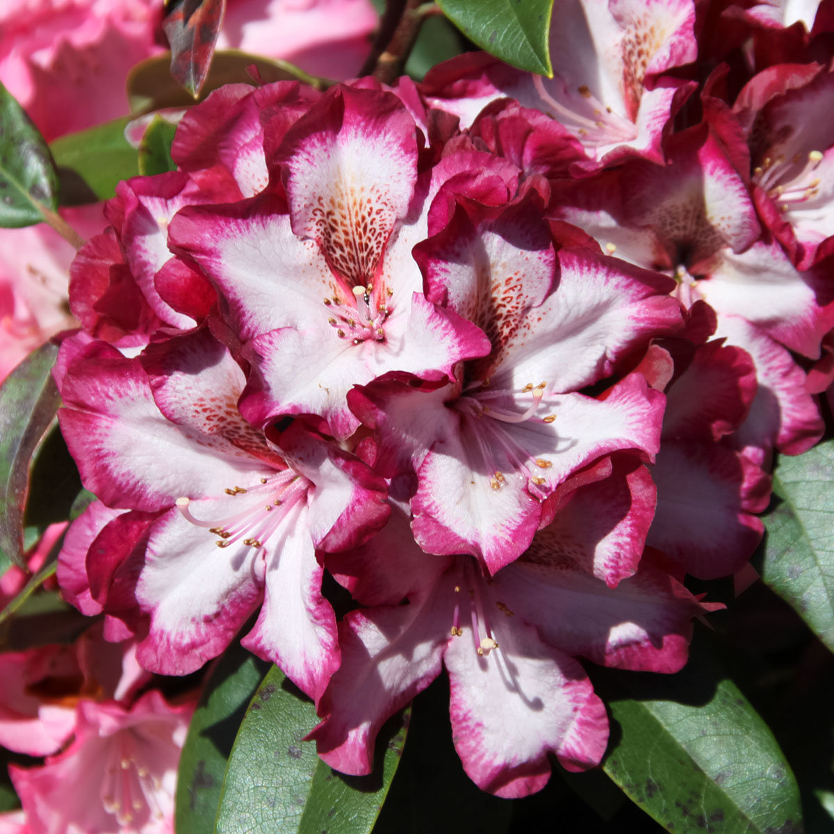 Rhododendron Midnight Mystique | #2