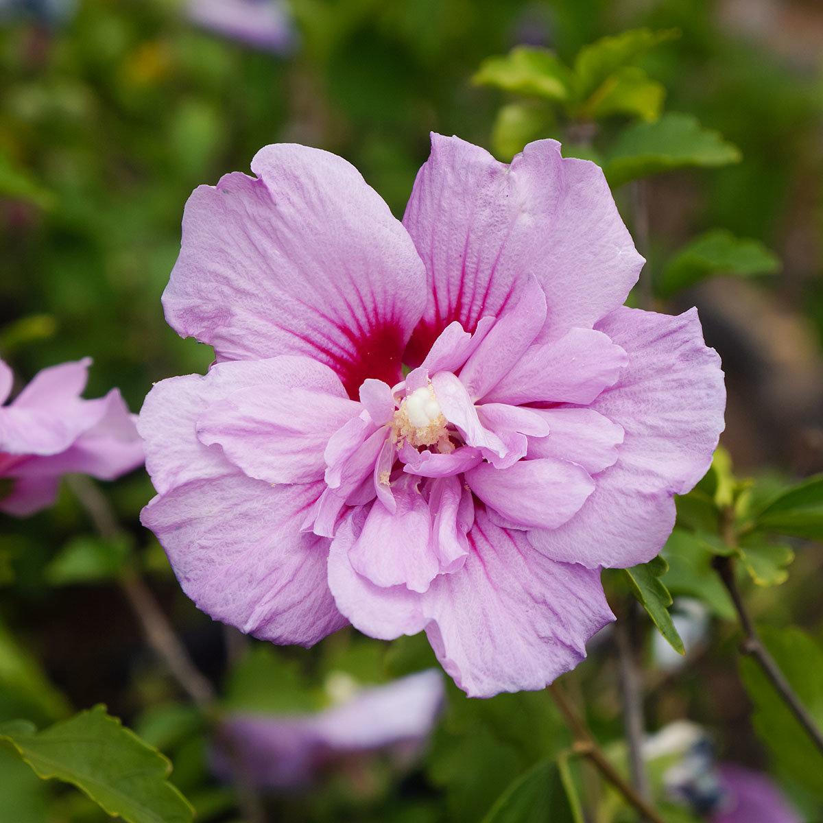 Gefüllter Garten-Hibiskus, rosa | #2