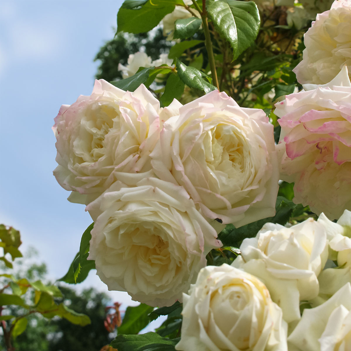 Rose Alaska, XL-Qualität | #2