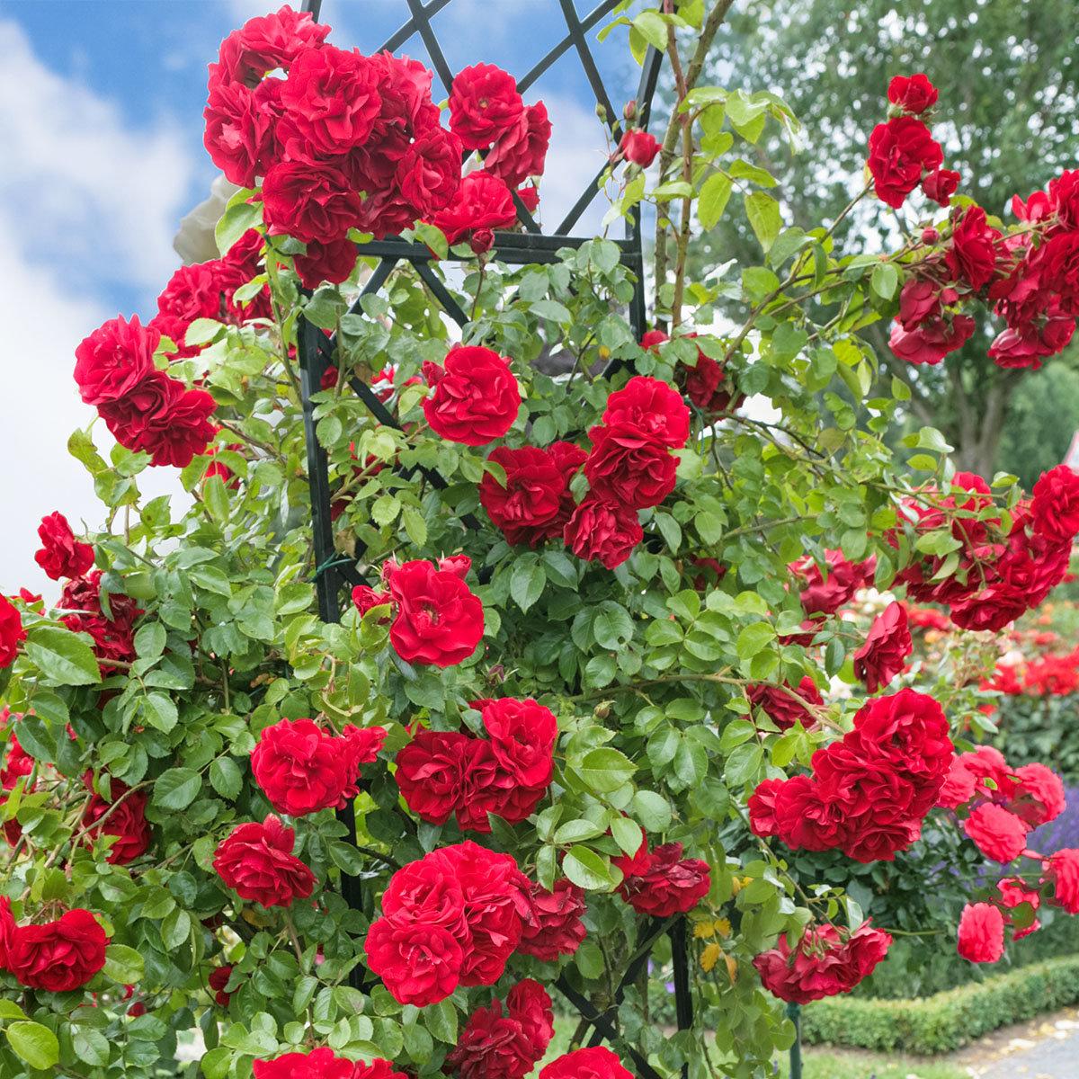 Rose Amadeus, XL-Qualität | #2