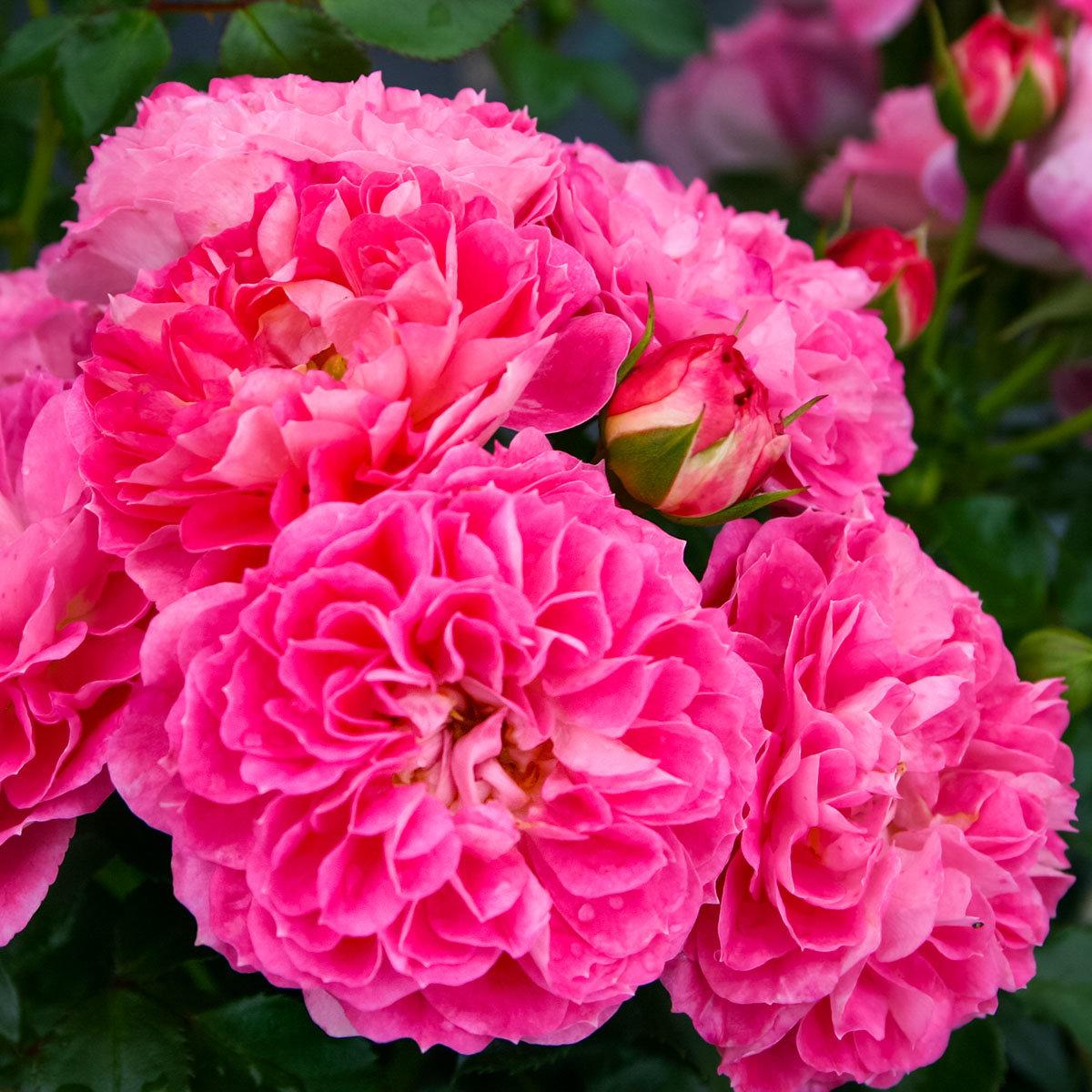 Rose Charmant, XL-Qualität | #2