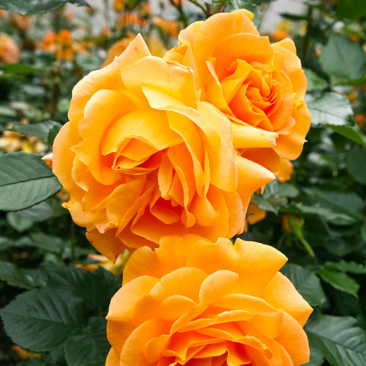 Rose Goldelse, im 4,5-Liter-Topf | #2
