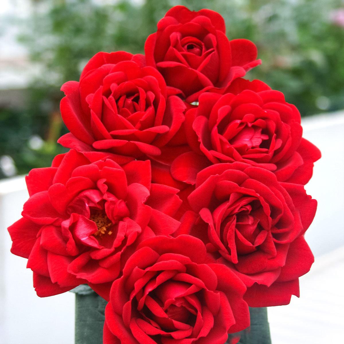 Rose Jugendliebe, im 4,5-Liter-Topf | #2