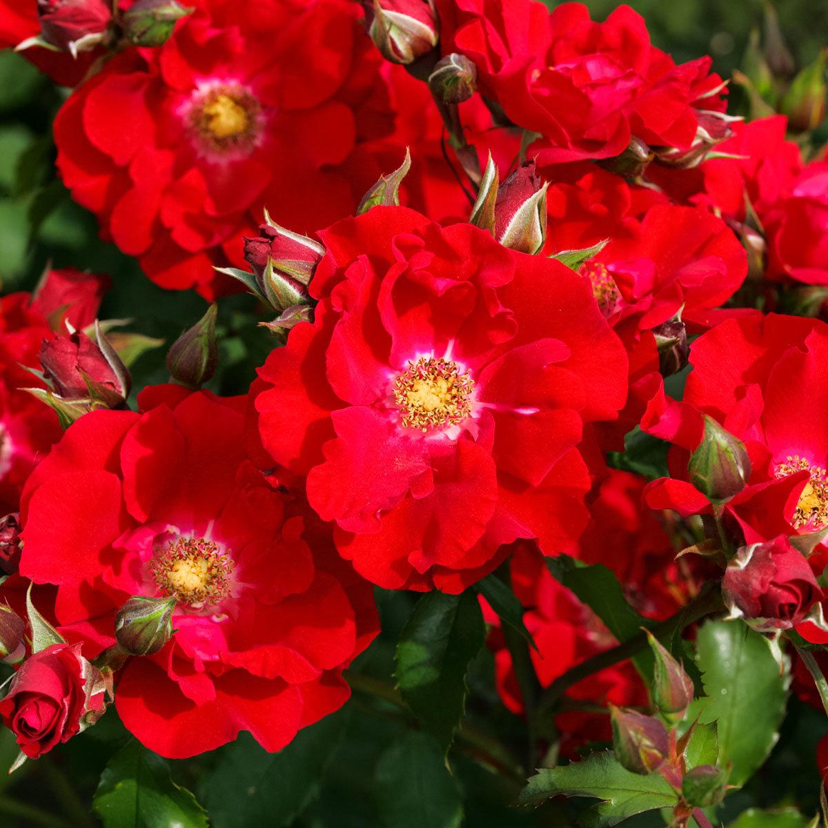 Rose Roter Korsar, im 5,5-Liter-Topf | #2