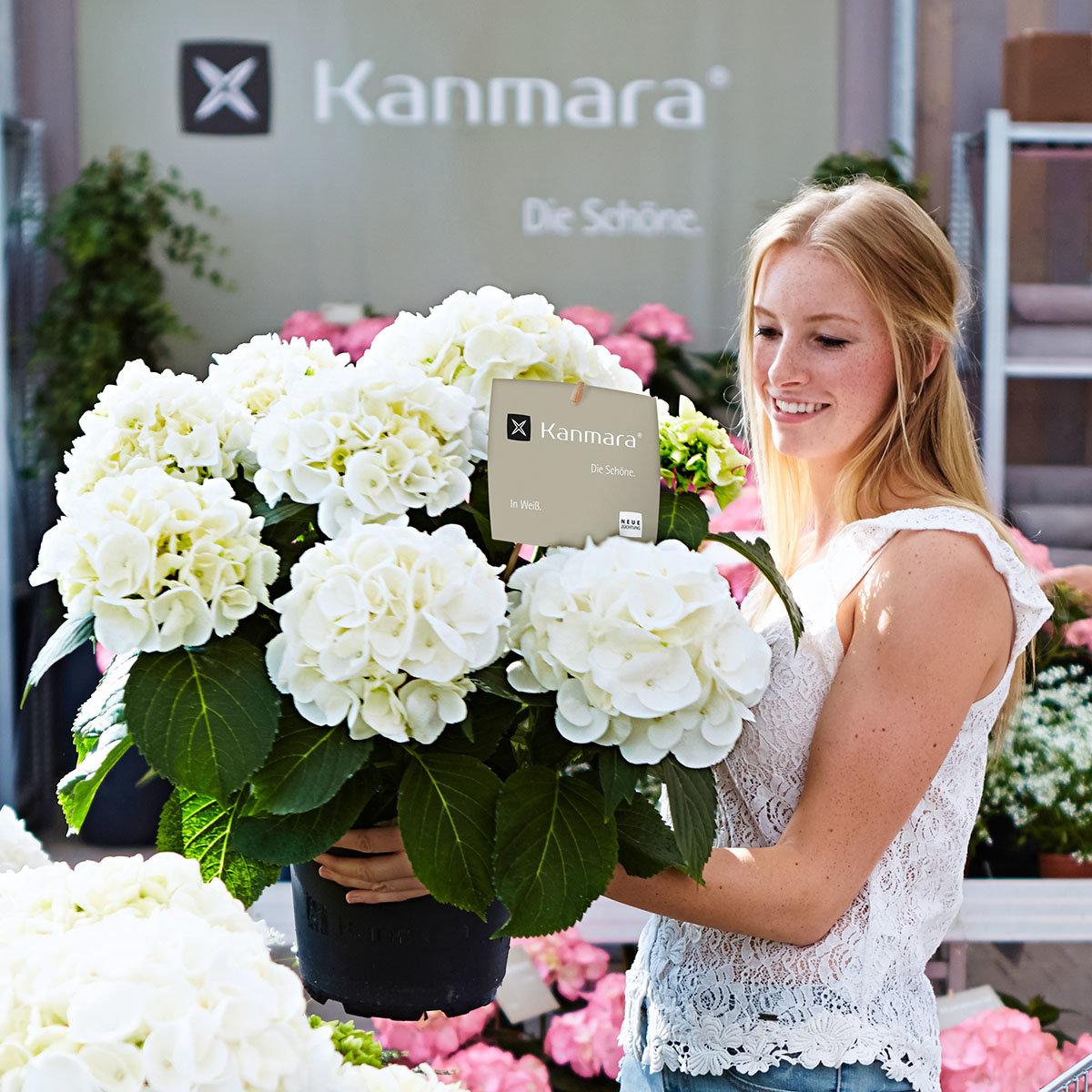 Hortensie Kanmara, weiß | #2