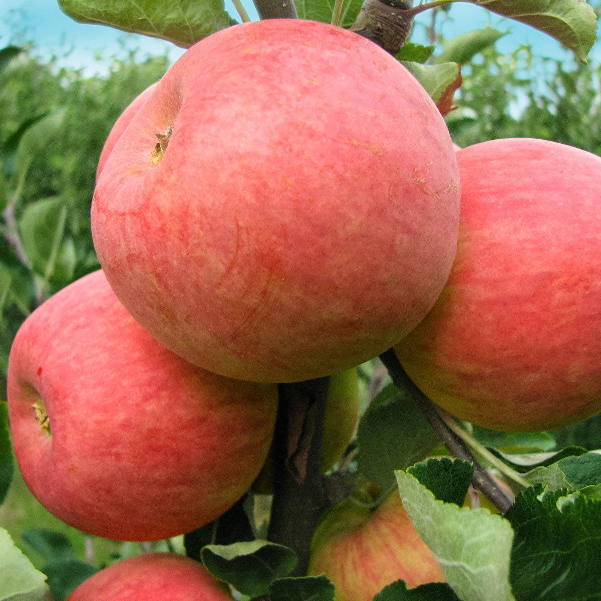 Apfel Piros | #2
