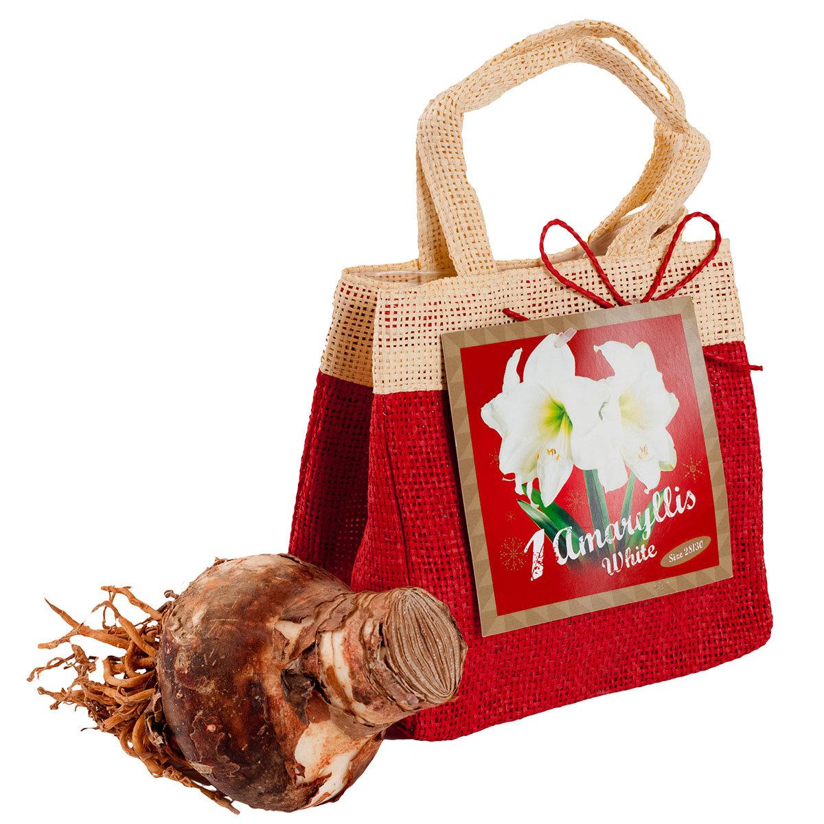 Amaryllis weiß, im Weihnachts-Jutesäckchen | #2