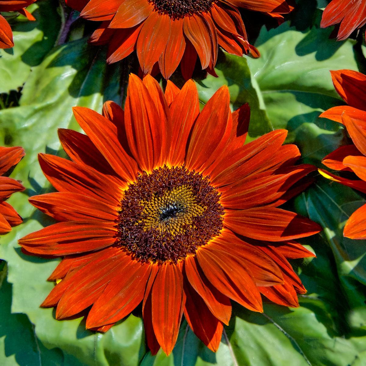 Sonnenblumensamen Ruby F1 | #2