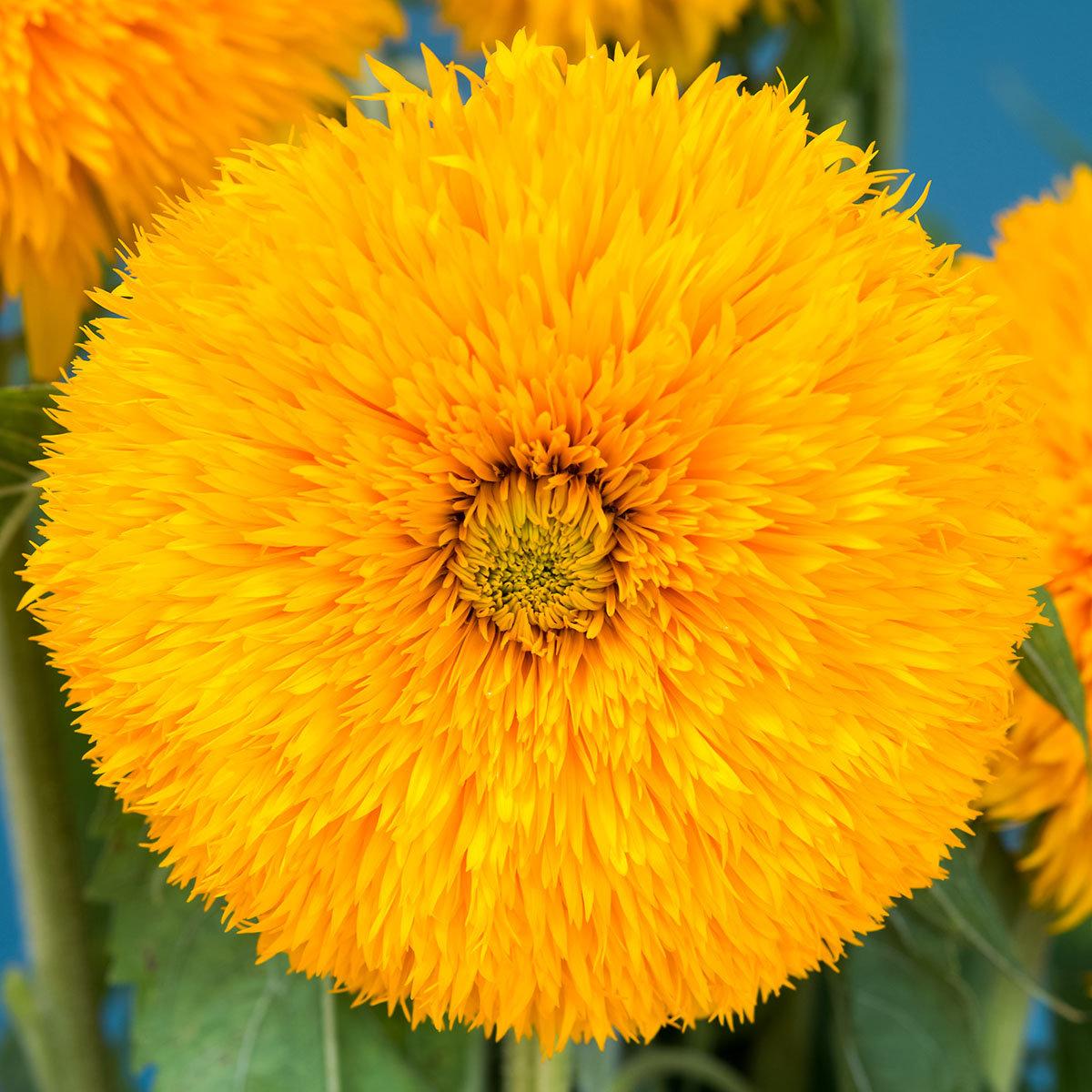 Sonnenblumensamen Double Sunking | #2