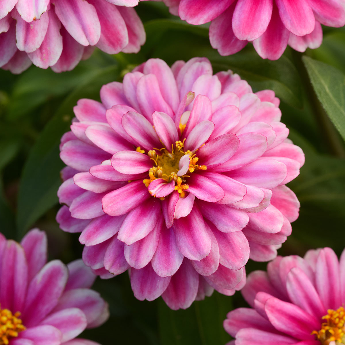 Zinniensamen Zahara Raspberry Ripple | #2